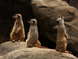 meerkat2