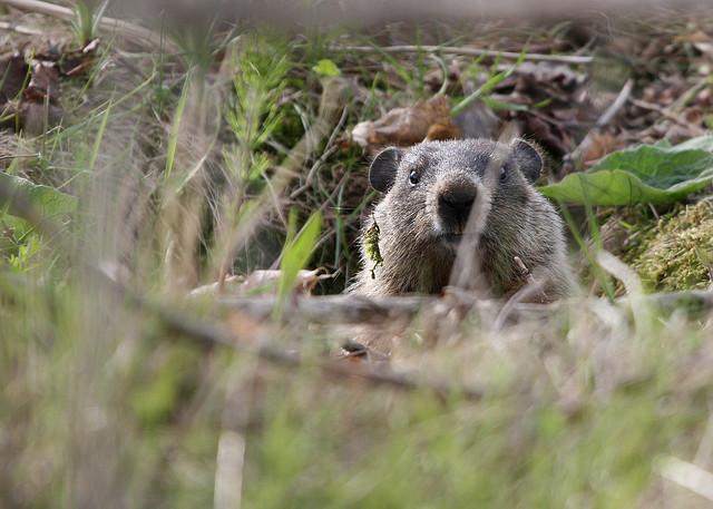 groundhog-peeping